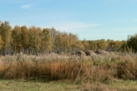 Омские леса могут отдать в аренду.