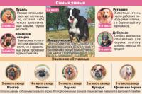 Какая собака всех умнее? Инфографика.