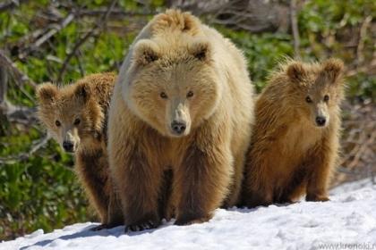 Медведи снова разгуливают по национальному парку «Таганай»