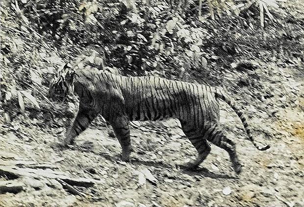 Яванский тигр, 1994 год. Яванский тигр обитал на индонезийском острове Ява. Весь подвид вымер в 80-х годах ХХ века из-за охоты и разрушения среды обитания.