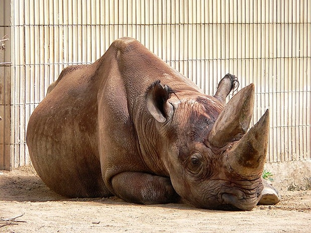 Западный черный носорог, 2011 год.  Один из подвидов чёрных носорогов обитавший в Западной Африке (Diceros bicornis longipes) был официально признан вымершим.