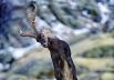 Пиренейский козерог, 2000 год. Последний из подвида пиренейского козерога погиб от несчастного случая. После учёные попытались создать клон этого козерога, но детёныш погиб вскоре после рождения из-за различных врождённых дефектов.