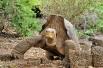 Слоновая черепаха, или галапагосская черепаха (лат. Chelonoidis elephantopus) вид сухопутных черепах. Эндемик Галапагосских островов, вид, находящийся под угрозой исчезновения. В июне 2012 года в Галапагосском национальном парке Эквадора скончалась послед