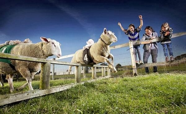 Самая быстрая овца живет в английском графстве Бакингемшир. Она постоянно участвует в бегах и выиграла 165 из 179 забегов.