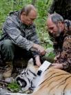 Владимир Путин вместе с учеными застегивает на шее тигрицы спутниковый ошейник