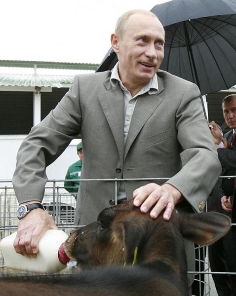Путин покормил теленка из бутылочки в Белгородской области