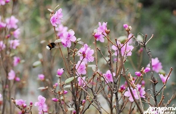 Шмель опыляет цветущий рододендрон.