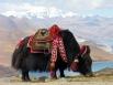 5. Як у озера Ямдрок, Тибет. Як отличается длинной косматой шерстью, которая свисает с туловища и почти полностью закрывает его ноги. (Фото Dennis Jarvis)