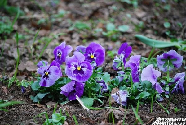 Анютины глазки - тоже ранние цветы. В Средней полосе России они начинают цвести как раз в конце апреля.