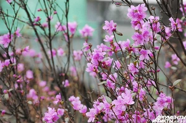 На деревьях еще нет листьев, а в саду уже зацвел рододендрон.