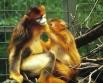 Рокселланов ринопитек - вид китайских обезьян Отличаются весьма необычным и ярким внешним видом: шерсть оранжево-золотистая, лицо синее, а нос максимально курносый. Весьма редки, вид находится под угрозой исчезновения, занесены в Красную книгу.