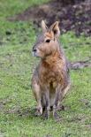Патагонская Мара Патагонская Мара - это относительно большой грызун обитающий в некоторых районах Аргентины. Это травоядное, которое в очень похоже на кролика, но не имеет с ним никакого родства.