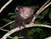 Руконожка, или мадагаскарская руконожка, или ай-ай (лат. Daubentonia madagascariensis) — единственный вид из семейства руконожковых (Daubentoniidae), млекопитающее из отряда полуобезьян, с пушистой чёрно-бурой шерстью, длинным хвостом и очень удлинёнными