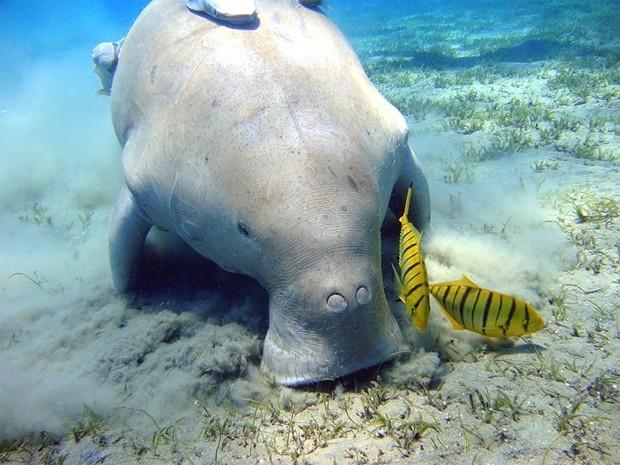 Дюгонь (лат. Dugong dugon) — водное млекопитающее; единственный современный представитель рода дюгоней семейства дюгоневых отряда сирен. Название «дюгонь» происходит от малайского duyung, означающего «русалка», «морская дева».