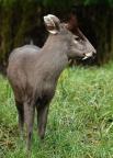 Хохлатый олень  Хохлатые олени обитают на юге Китая — от Тибета до провинций Фуцзянь и Чжэнцзянь на севере, и до северной Бирмы на юге. При общении с другими оленями используется лающий «говор», в случае опасности животные убегают, задрав белый хвост —
