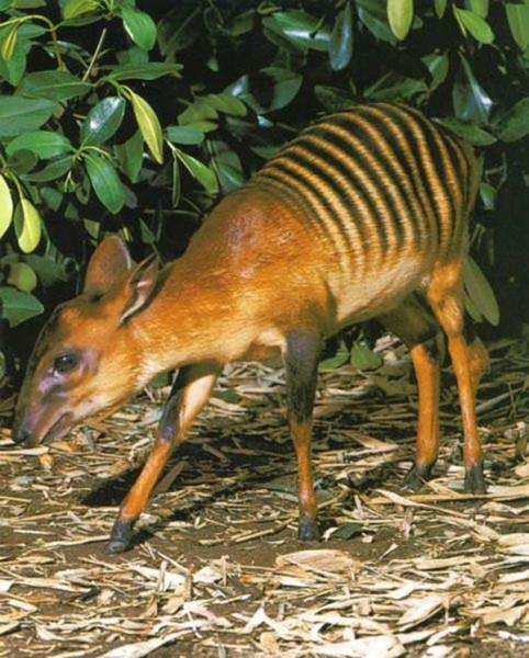 Зебровый дукер Зебровые дукеры - небольшие антилопы из Кот-д'Ивуара. У них золотая или красно-коричневая шерсть с характерными для зебры полосами. Отсюда и название. Они живут в тропических лесах и питаются листьями и фруктами