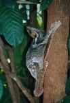Sunda Colugo, также известен, как Зондский летающий лемур, но на самом деле это не лемур и он явно не летает. Вместо этого, он прыгает и планирует среди деревьев.   Живет только на деревьях, активен ночью, а питается он мягкими частями растений, такими ка