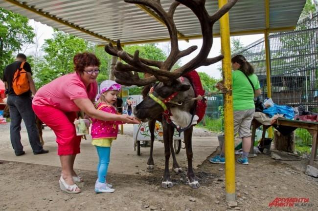 """Северный олень в зоопарке Владивостока покатает любого желающего. <br> <a href=""""http://www.vl.aif.ru/society/gallery/100271 """">Фотографии других обитателей зоопарка - в фотогалерее АиФ-Владивосток.</a>"""