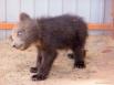 Этого медвежонка жителю Камчатки пришлось отбивать от уличных собак в районе посёлка Коряки. В зоопарке же мишка освоился и уже проворно лазит по стенкам вольера. От жары малыш спасается в большом корыте с водой. Сейчас Тимофею около 4 месяцев.  <br><a h