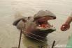 """Краснодарский «Сафари-парк» содержать  непросто. Это требует больших затрат. Некоторые животные очень прожорливы. Например, бегемот съедает до 80 килограммов продуктов в день.   <br> <a href=""""http://www.kuban.aif.ru/dosug/gallery/100110""""> Больше фотогра"""