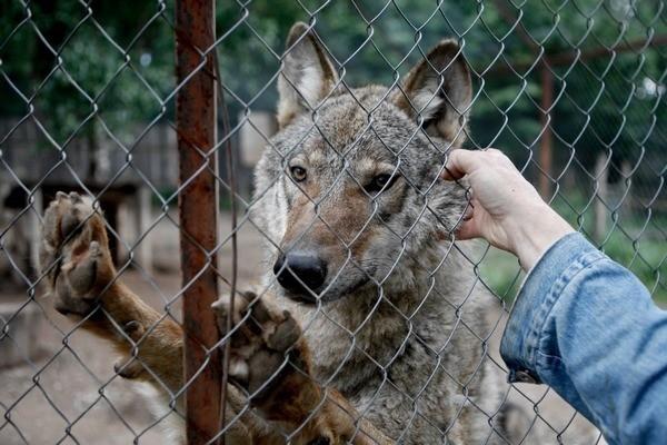 У волков из экопарка «Зооград» в Пскове с детьми не складывается. Разбой и его подруга вместе уже больше года, но… Но им и так хорошо. Разбой – невозможный красавец и знает об этом. Он может показать детям аттракцион «Я злой и стрррашный серый волк». Это