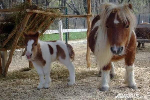 """Лошадка Фалабелла в «Сафари-парке»  Краснодара  - самая маленькая лошадка в мире. Больше ни в одном зоопарке России ее нет. Год назад у двух лошадей родился малыш.   <br><a href=""""http://www.kuban.aif.ru/dosug/gallery/100110"""">Другие фото животных Краснода"""