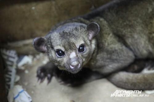 В 2008 году в Челябинском зоопарке поселились забавные лупоглазые зверьки кинкажу. Животные прибыли в Челябинск из Южной Америки. Зверьков поселили в отдельные вольеры. Чтобы кинкажу чувствовали себя как дома, вместо жаркого тропического солнца в клетки п