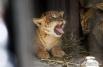 """В Новосибирском зоопарке живут единственные в России лилигрята. Лилигренок - это гибрид лигра и льва. <br><a href=""""http://www.nsk.aif.ru/dosug/article/37069"""">Читайте о них и о Новосибирском зоопарке в материале АиФ-Новосибирск.</a>"""