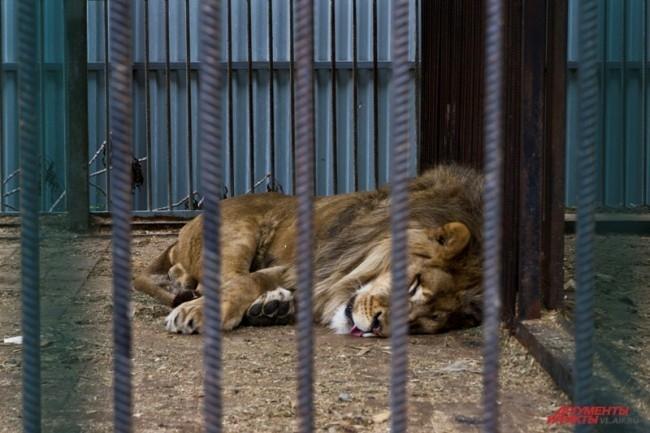 """В зоопарке Владивостока живет Лев Бонифаций. Он  единственный  лев на Дальнем Востоке.      <br> <a href=""""http://www.vl.aif.ru/society/gallery/100271 """">Фотографии других обитателей зоопарка - в фотогалерее АиФ-Владивосток.</a>"""