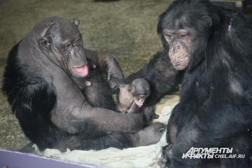 Шимпанзе Даше, которая родилась в Челябинском зоопарке, исполнился один годик. В основном, воспитанием Даши занимается мама – шимпанзе Сони. Папа, шимпанзе Бонни, гордится своей малышкой. Он относится к ней бережно и никогда не обижает свою дочь. <br><a h