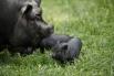 В экопарке «Зооград» в Пскове около 150 видов и пород птиц и животных. И, если хищники как раз поддаются строгому учёту, то, например, с вьетнамскими черными вислоухими карликовыми свиньями ясности меньше: за вальяжной мамой по имени Обама бегает целая ба