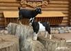 """В Ленинградском зоопарке, который этим летом отметит 148 лет, живут около 3 тысяч животных, в том числе камерунские козы. <br><a href=""""http://www.spb.aif.ru/society/gallery/859""""> Подробную фотогалерея - на сайте АиФ-Петербург.</a>"""