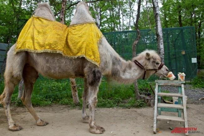 """Любопытный верблюд из Владивостока. <br> <a href=""""http://www.vl.aif.ru/society/gallery/100271 """">Фотографии других обитателей зоопарка - в фотогалерее АиФ-Владивосток.</a>"""