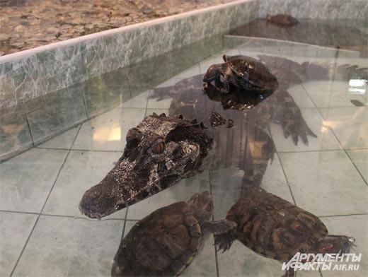 """В зоопарке Липецка дружен не только коллектив, но и питомцы. Даже крокодилы ладят с черепахами<br> <a href=""""http://www.chr.aif.ru/society/article/59255""""> О Липецком зоопарке читайте в материале Аиф-Черноземье. </a>"""