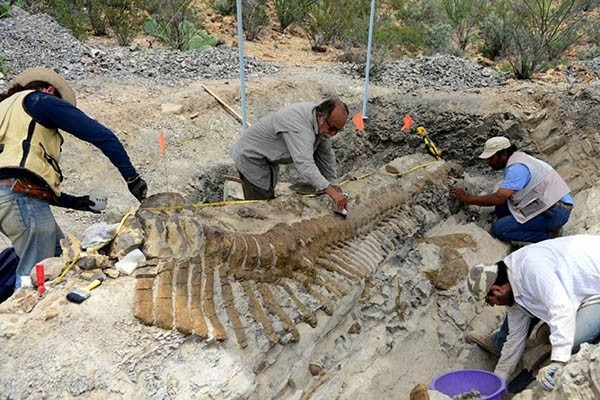 Ученым удалось идентифицировать обладателя этого хвоста - им оказался гадрозавр - динозавр из семейства утконосых динозавров