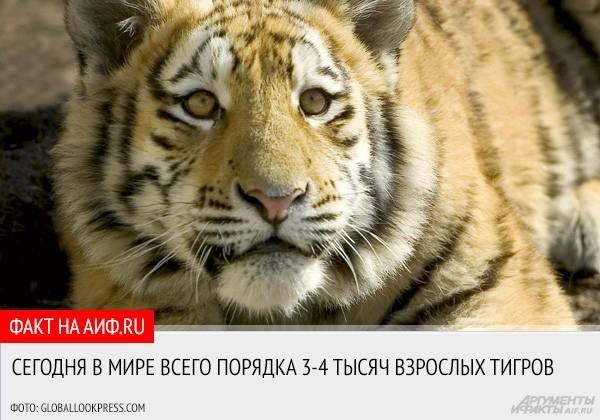 """29 июля в мире отмечается Международный день тигра. <a href=""""http://www.aif.ru/dontknow/file/eco/15141"""">АиФ.ru собрал самые интересные факты об этих красивых и редких животных, которых на сегодняшний день на планете осталось так мало.</a>"""