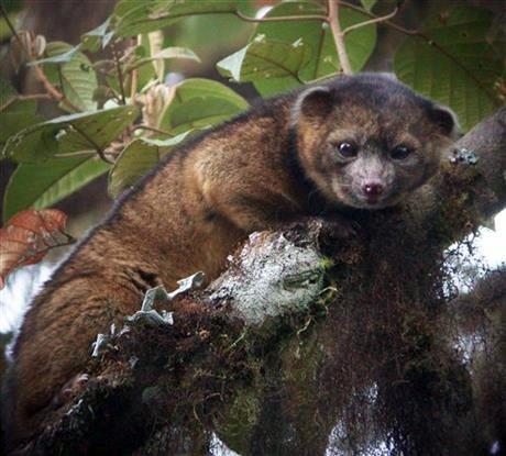 Новое млекопитающее, которое на днях открыли миру американские исследователи. Назвали его олингвито (olinguito). Обнаруженное существо размером с енота принадлежит к той же группе, что и собаки, кошки, медведи.