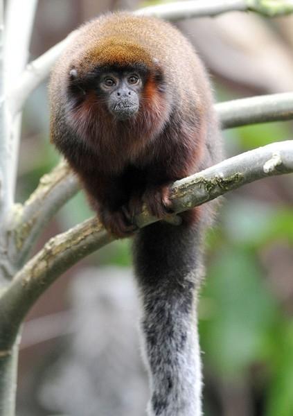 Рыжебородый Тити  Рыжебородый тити – небольшой примат, открытый в колумбийской части Дождевых лесов Амазонии в 2008 году. Эти существа находятся на грани исчезновения – их популяция составляет около 250 особей.