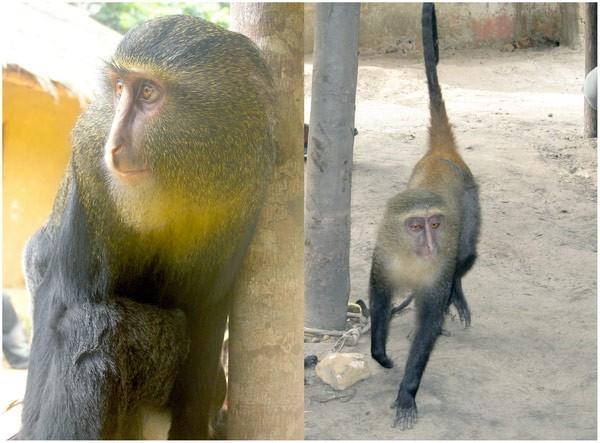 Лесула Новый африканский вид в семействе мартышковых, открытый в 2007 году. Вид был открыт в Демократической Республике Конго и это уже второй новый вид обезьян, открытый за последние тридцать лет в Африке.
