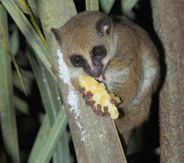В труднодоступных лесах Мадагаскара ученые обнаружили совершенно новый вид лемуров. Рыжие зверьки оставались неизученными, прячась в ветвях деревьев и просыпаясь лишь на время дождей.
