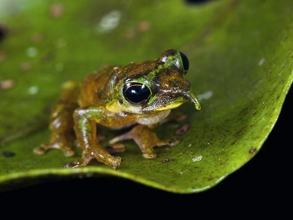 Лягушка-Пиноккио Лягушку-Пиноккио открыли  в 2010 году в удалённом районе гор Фоджа в Индонезии. Странный выступ похожий на нос присущ только самцам этого вида. «Нос» увеличивается в размерах во время поиска партнёра, а в остальное время остаётся обычно