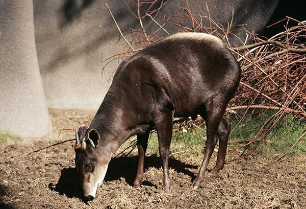 Дукер Уолтера  Дукер Уолтера официально открытое в 2010 году в Дагомейском разрыве в Западной Африке. Одной из самых интересных характеристик данного вида является их небольшой размер: в высоту в среднем они достигают всего 40 сантиметров, а весят от 4