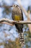 Серёжчатый дымчатый медосос Представитель медососовых, обитающий в горах Фоджа в Индонезии. Отличительной чертой этого вида является красновато-оранжевый окрас кожного покрова вокруг глаз. Серёжчатых дымчатых медососов открыли в декабре 2005 году, и они