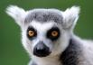 Название «лемуры» происходит от мифических древнеримских «лемуров», синонима лярв. Вероятно, это восходит к ночному образу жизни большинства лемуров и их крупным глазам.