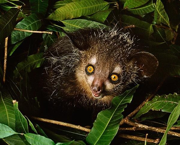 Ай-ай или руконожка мадагаскарская.  Его стройное, длиной около 36—44 см, тельце покрыто жёсткой прямой тёмно-бурой или чёрной шерстью с густым подшерстком. Пушистый хвост достигает в длину 60 см. Большая округлая голова украшена крупными глазами