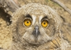 Глаза сов очень велики и смотрят прямо вперёд, соответственно положению глазниц на передней стороне лицевых частей черепа, то есть двигать глазами, как человек, сова не может.