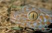 У гекконов -  большие глаза без век, покрытые неподвижной прозрачной оболочкой