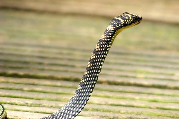 Способностью к контролируемому прыжку обладают и некоторые виды змей, например, древесные. Они обладают длинным и сравнительно тонким телом и умеют втягивать брюшко при прыжке, принимая форму продольного желоба.