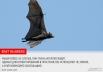 В ночь с 20 на 21 сентября в мире отмечается очень необычный праздник – Ночь летучих мышей. Этих удивительных животных многие не любят, с ними связано множество суеверий и предрассудков. АиФ.ru собрал 10 интересных фактов о летучих мышах, доказывающих, чт
