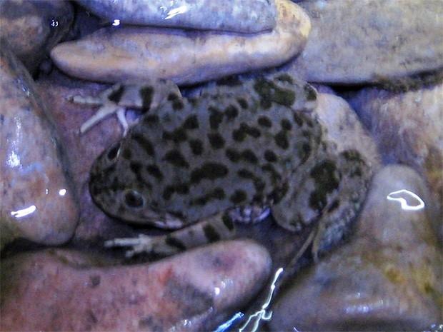 Титикакский свистун, эндемик озера Титикака. Этот вид живёт лишь в холодной воде с высоким содержанием кислорода, из-за чего имеет низкий уровень метаболизма. Для дыхания титикаский свистун использует кожу.